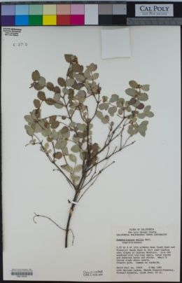 Symphoricarpos mollis image