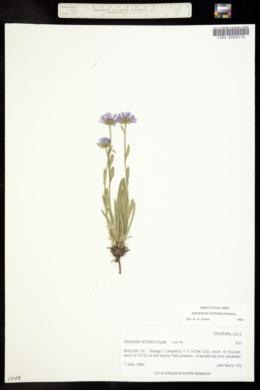Erigeron vetensis image