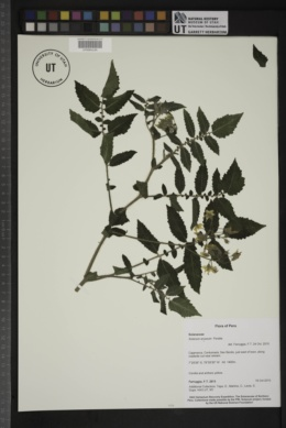 Image of Solanum arcanum
