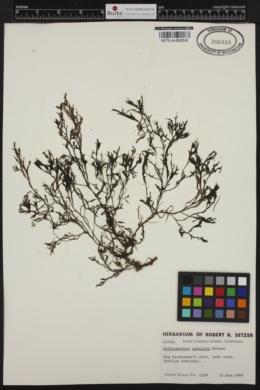 Dictyopteris undulata image