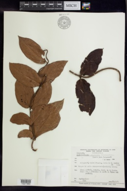 Banisteriopsis grandifolia image