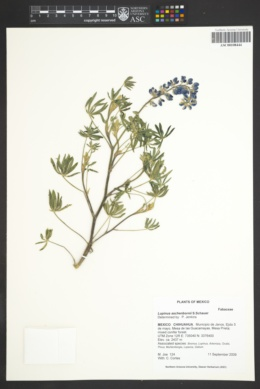 Image of Lupinus aschenbornii