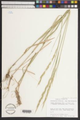 Roegneria semicostata image
