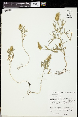 Trifolium angustifolium image