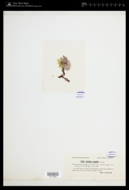 Jania ungulata image