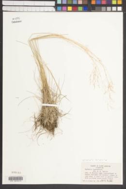 Image of Agrostis leptotricha