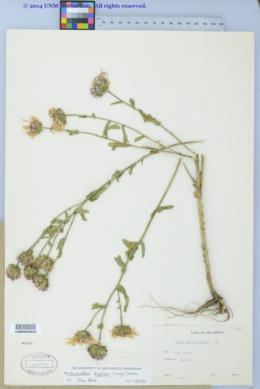 Dieteria bigelovii image