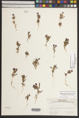Diplacus mephiticus image