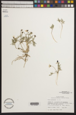 Viola beckwithii image