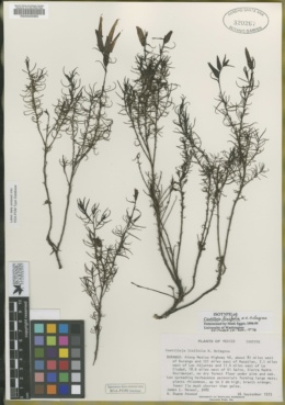 Image of Castilleja linifolia