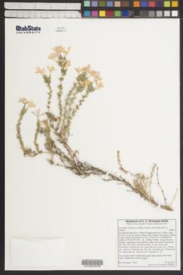 Image of Linanthus californicus