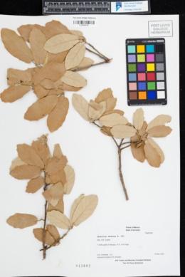 Quercus omissa image