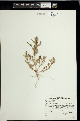 Image of Chenopodium humile