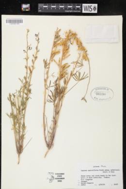 Lupinus sparsiflorus subsp. mohavensis image
