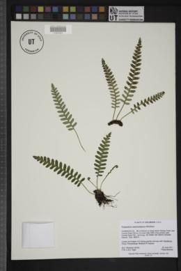 Image of Polypodium saximontanum