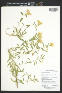 Isocoma rusbyi image