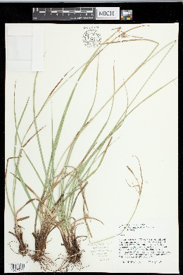 Image of Carex diluta