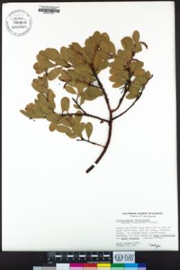 Arctostaphylos klamathensis image