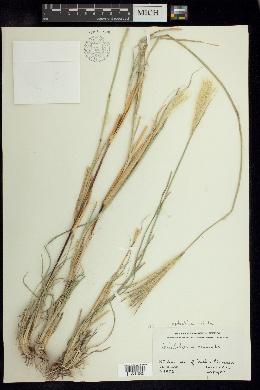 Image of Leptochloa crinita