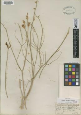 Astragalus linifolius image