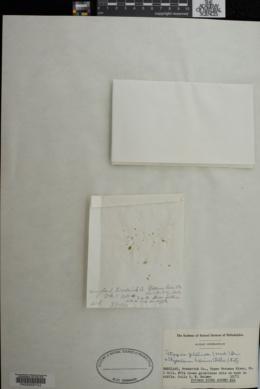 Tetraspora gelatinosa image
