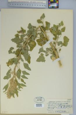 Image of Chenopodium quinoa