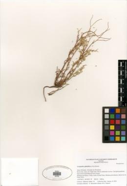 Cryptantha globulifera image