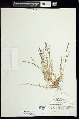Sporobolus coromandelianus image