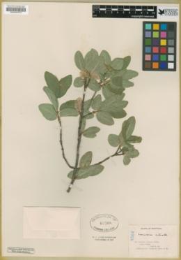 Lonicera ciliata image