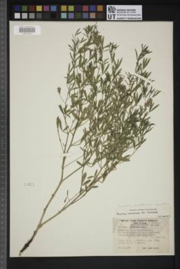 Psoralidium lanceolatum var. lanceolatum image