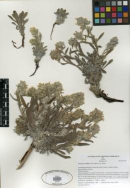 Image of Oreocarya rollinsii