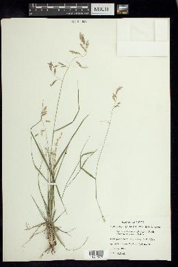 Tridens texanus image