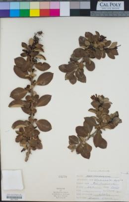 Escallonia rubra image