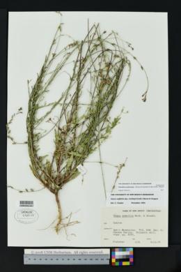 Oenothera podocarpa image