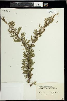 Image of Acacia densiflora