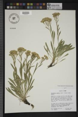 Petradoria pumila subsp. pumila image