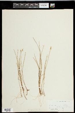 Carex pauciflora image
