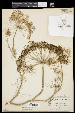 Anethum graveolens image