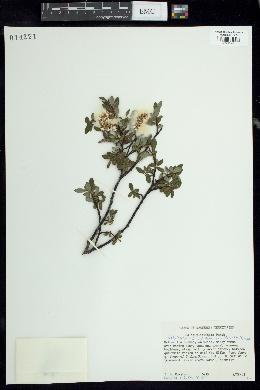 Image of Salix phylicifolia