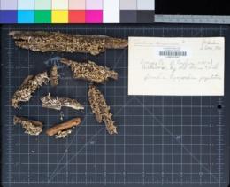 Image of Cladonia coniocraea