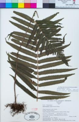 Image of Thelypteris forsteri