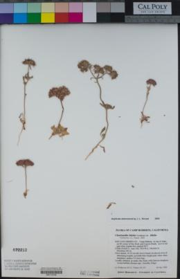 Chorizanthe biloba image