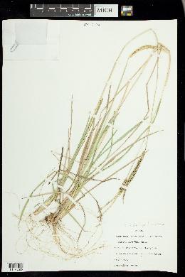 Image of Eustachys floridana