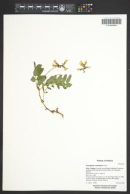 Astragalus umbellatus image