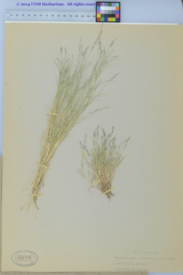 Muhlenbergia richardsonis image