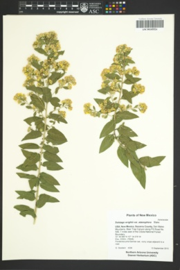 Solidago wrightii var. adenophora image