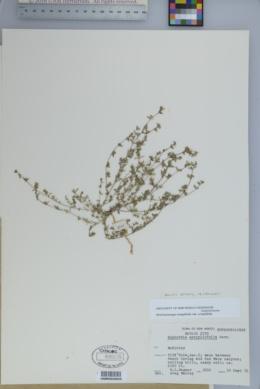 Euphorbia serpillifolia image