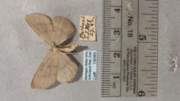 Lambdina pellucidaria image