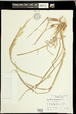 Amphibromus scabrivalvis image