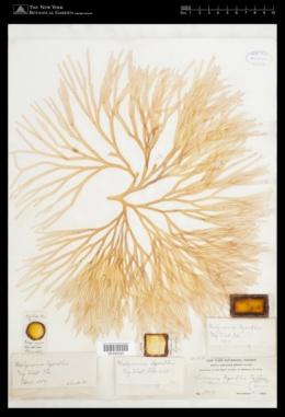 Sebdenia flabellata image